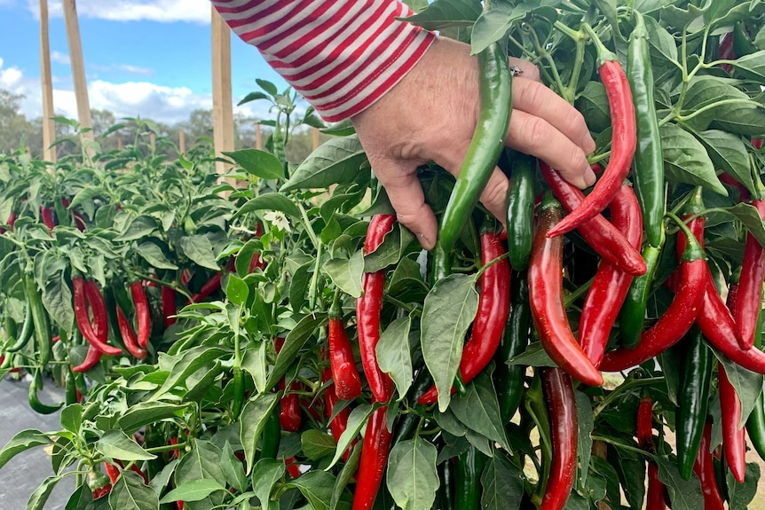 A person is touching a cayenne pepper tree filled with red and green peppers