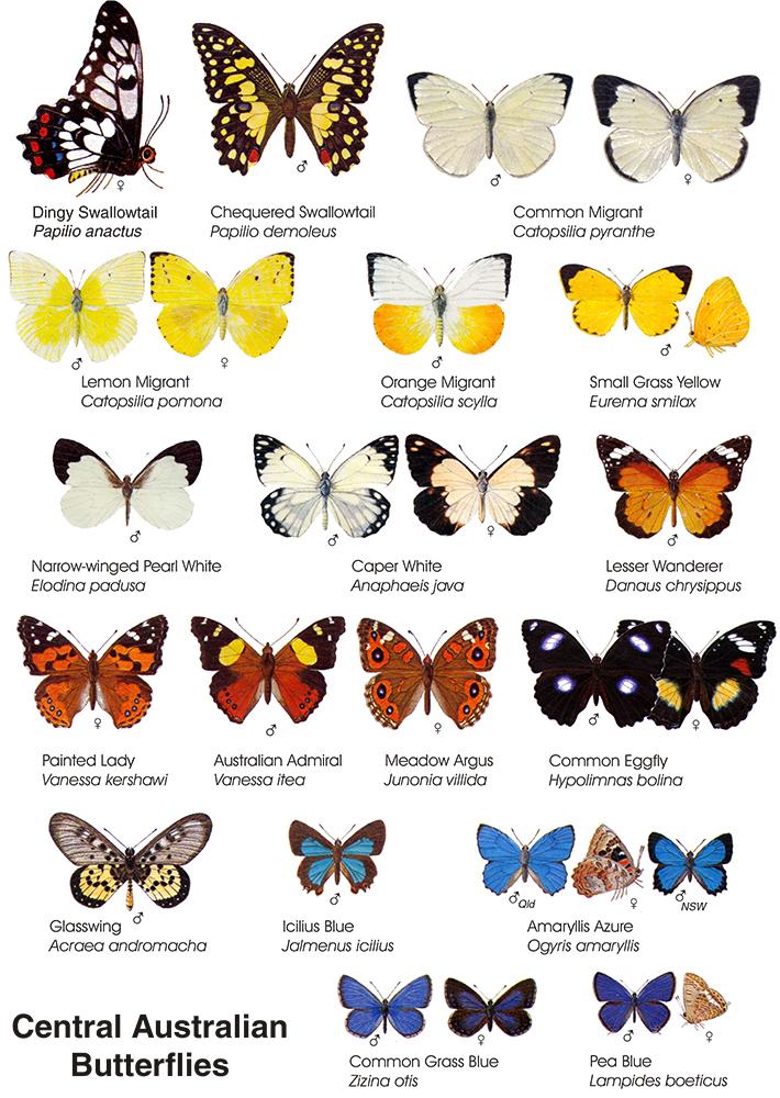 A chart of butterflies