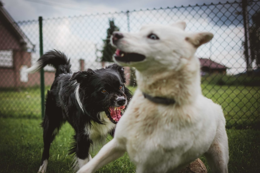 A black and white dog is snarling and snappy at a white dog that looks like it's running away
