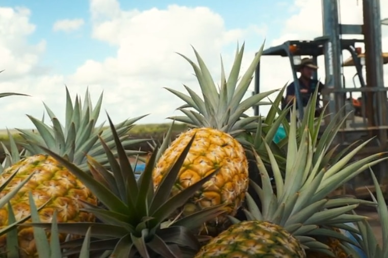 Pineapples stacked near a harvester