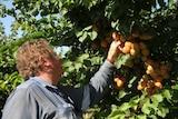 Kris Werner attempting to pick fruit off green stone fruit tree