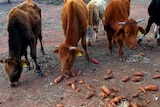 Three cows nibble at sweet potatoes scattered on the ground.