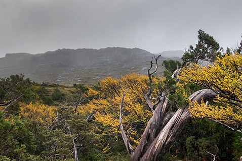 A dead tree in a Tasmanian west coast landscape with mountain range in back ground.