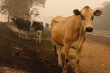 cattle stand on the side of a bushfire ravaged road in New South Wales