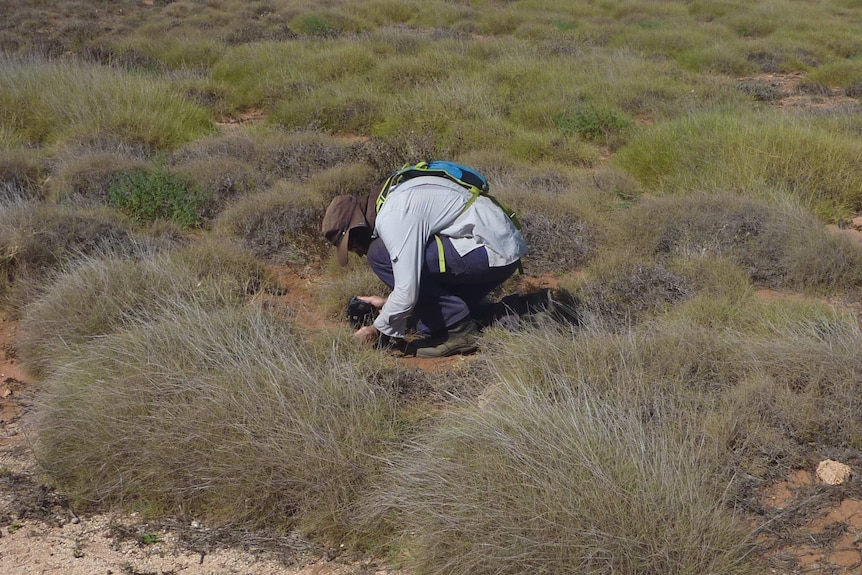 A man crouched on the ground in the outback collecting a plant sample