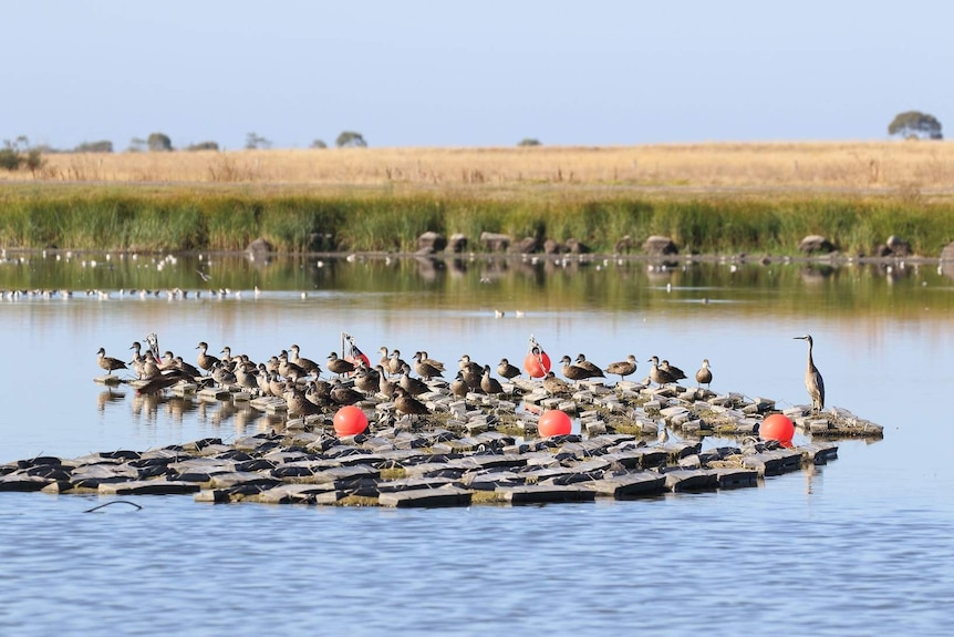 A lot of ducks sitting on a black plastic floating roost on a large dam