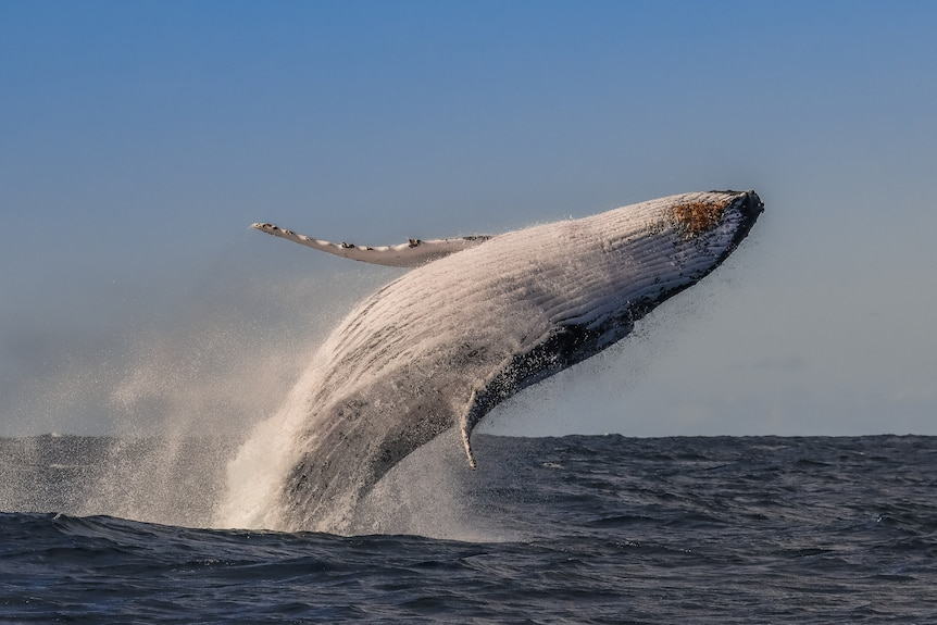 A humpback whale jumps out of the ocean with its white belly facing skywards