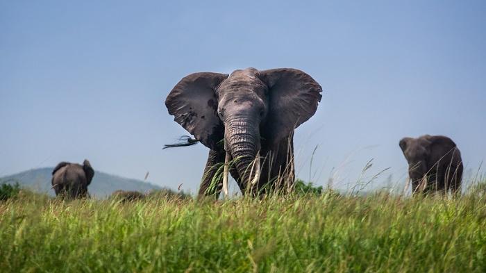 An elephant faces the camera