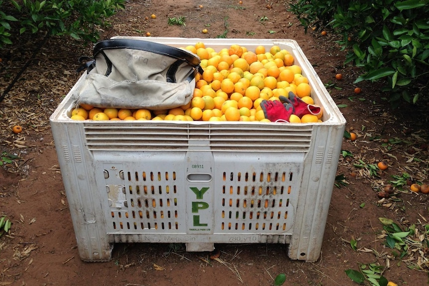 A bin of oranges in the orchard.