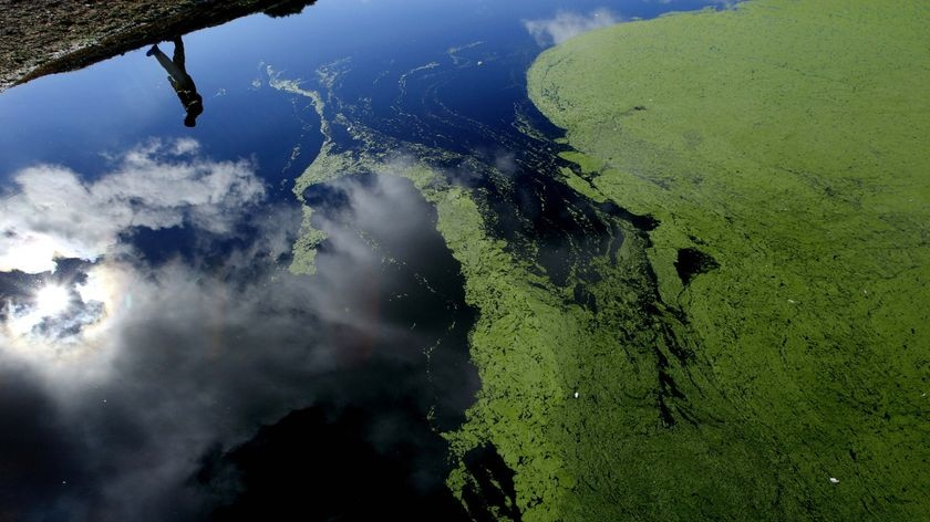 Farmer inspects an algae-affected dam