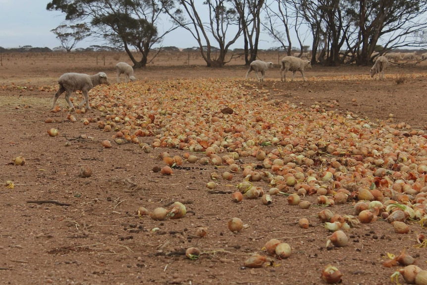 Sheep standing in a dry paddock with onions in the foreground.