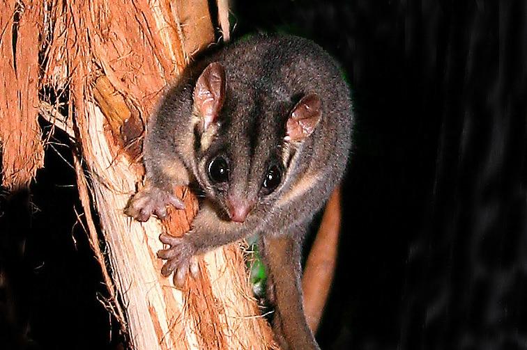 A small Leadbeater's possum.