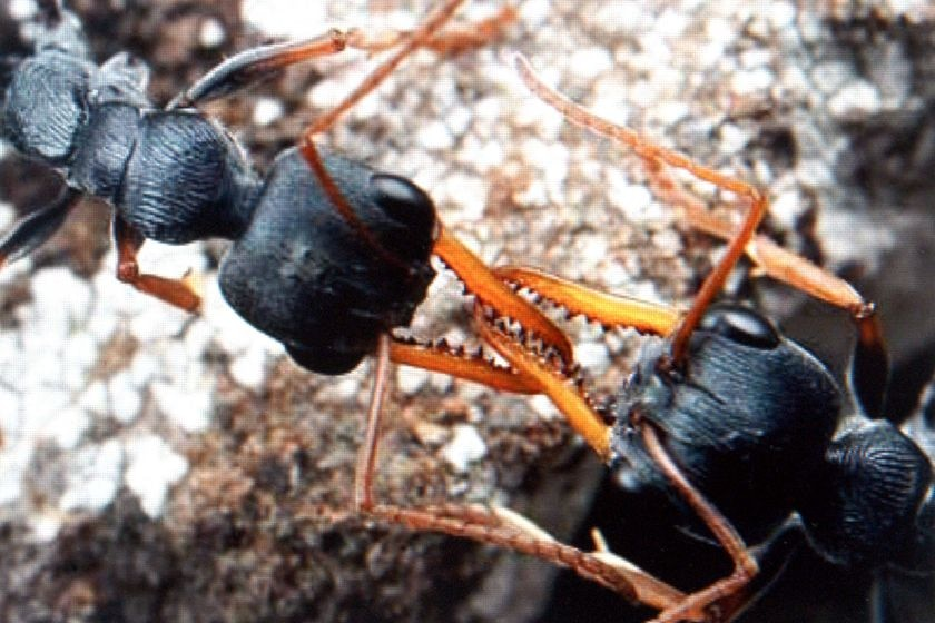 A pair of Myrmecia pilosula, otherwise known as Jack Jumper ants