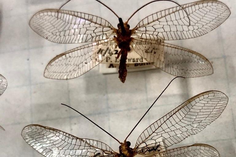 predatory wasp in display case
