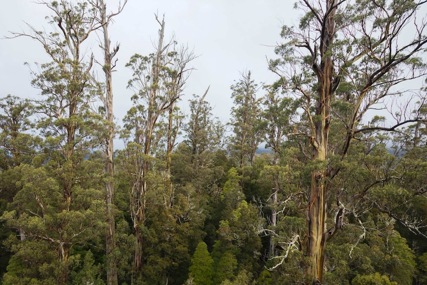 A stand of giant eucalypt trees towering above the surrounding forest