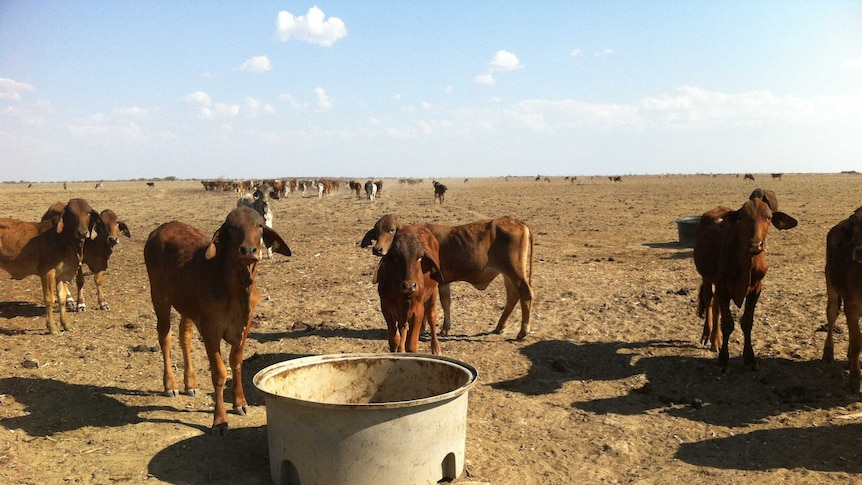Skinny cattle stand in a bare, dusty paddock with no grass, trees or any plantlife in sight.