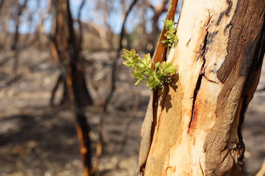 Green leaves sprout out of a burnt tree