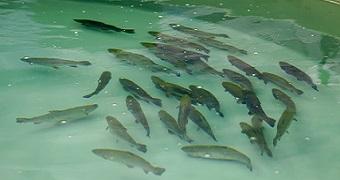 Aquaculture fish
