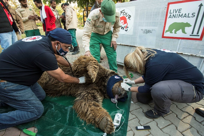 Man in mask and woman, bother wearing gloves, check a large brown bear lying on the ground