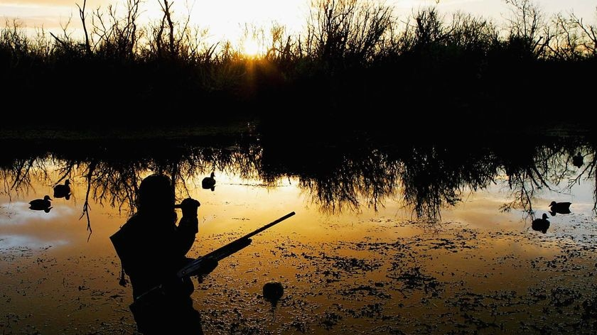 Duck hunter calls ducks as the sun rises.