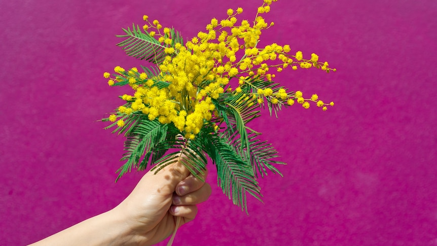 A hand holding a bunch of bright yellow fluffy flowers against a pink background