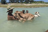 A bull calf swimming with a man and some dogs.