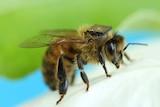 A honey bee with a sensor glued to its back sits on a white flower