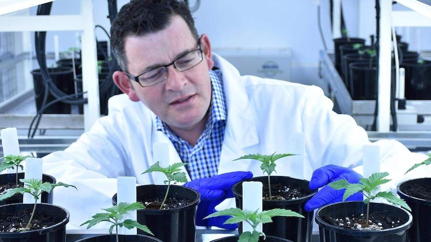 Daniel Andrews with medicinal cannabis crop