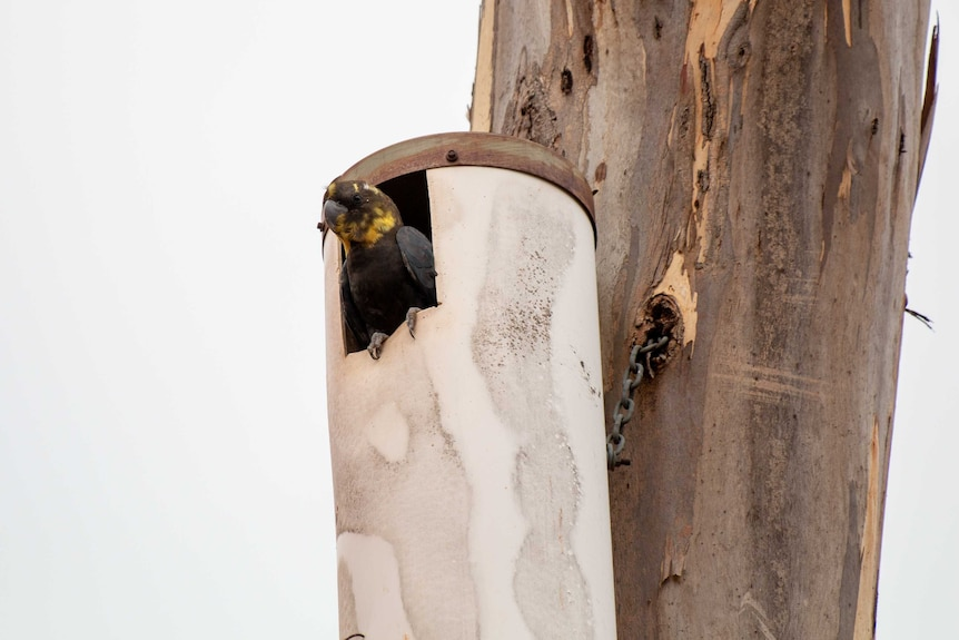 An adult black cockatoo with yellow patches on its face sits at the entrance to a man-made nesting box