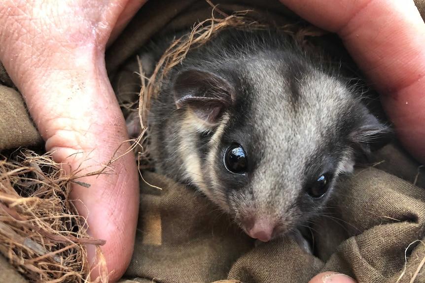A leadbeater's possum between a carer's fingers