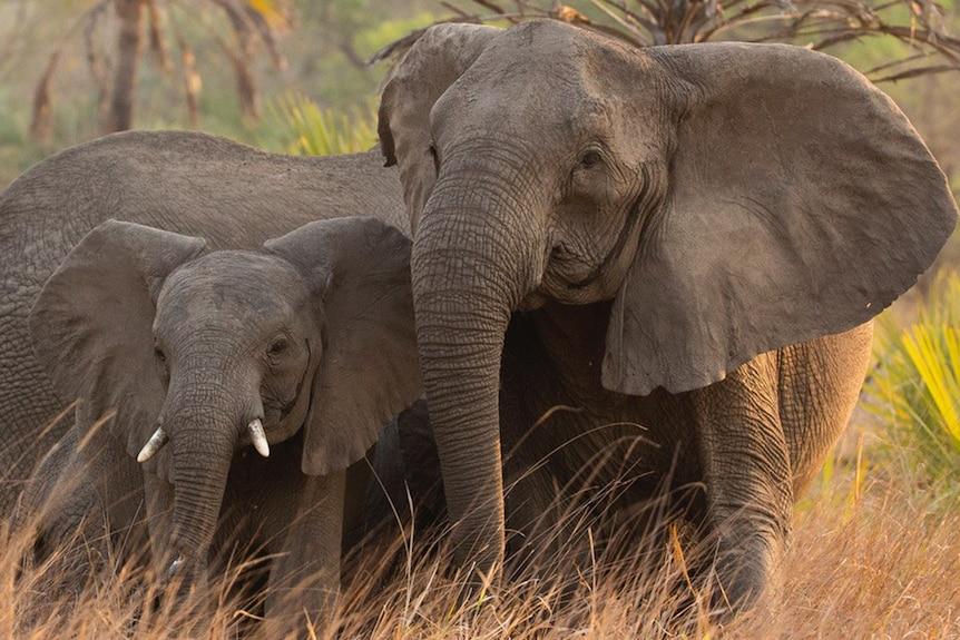 Tuskless and tusked elephants