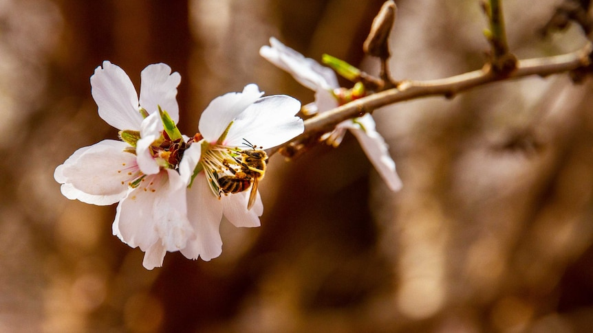 Bee pollinating almond flower