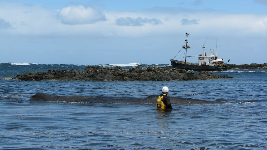 Rescuers try free stranded whale