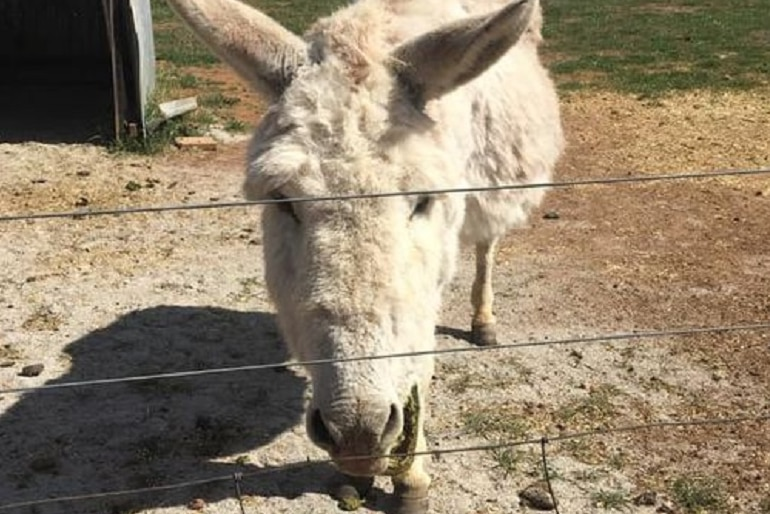 A white-haired donkey.