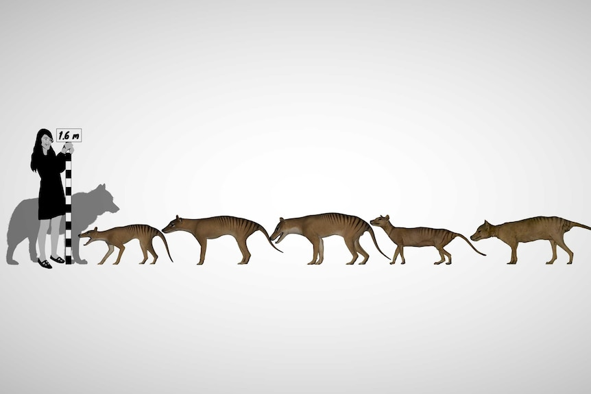 Illustration showing thylacine illustrations, with human and domestic dog for purposes of scale.