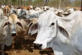 Brahman cattle on a Cape York Peninsula property