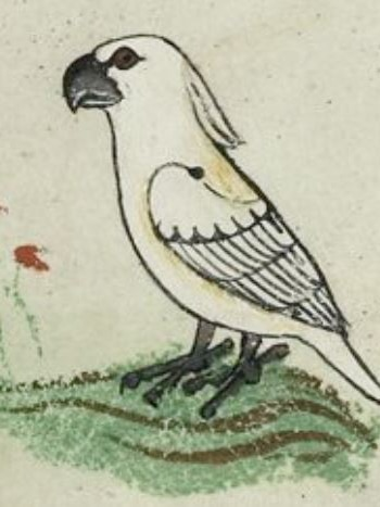 Cockatoo illustration in 13th century manuscript.