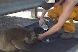 Koala gets a drink