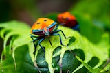 A bright orange and blue insect on a green leaf.