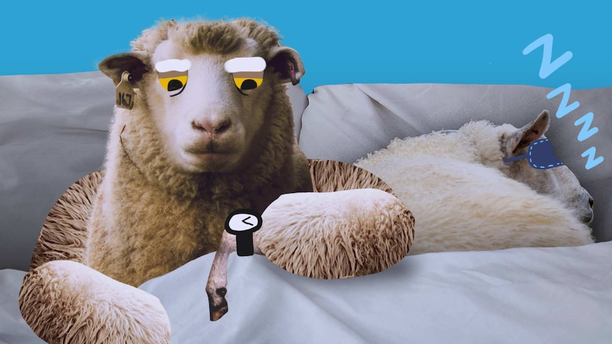 Illustration of a sheep in a bed looking at a wristwatch while another sheep sleeps for a story about ideal sleep times.