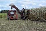Cane harvester harvesting cane.