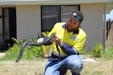 Snake catcher removes red-bellied black snake from front yard of Queensland home.