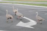 Geese walking in carpark
