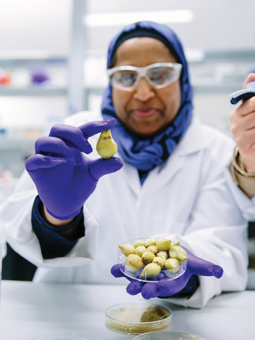 A woman wearing goggles, a white coat and gloves, holds up a single Kakadu plum.