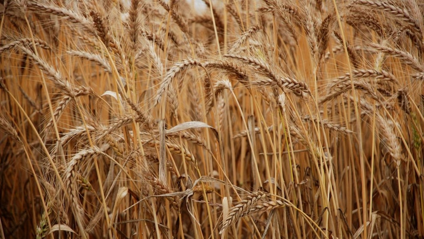 Drop in wheat prices predicted