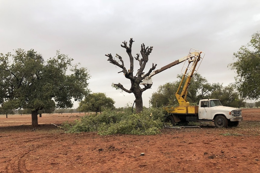 An old cherry picker is parked beside the lopped kurrajong tree, its branches on the ground beside it.