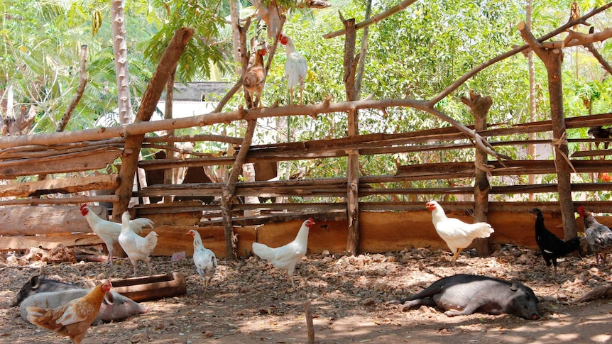 Chickens and pigs in a pen made of branches in Timor Leste