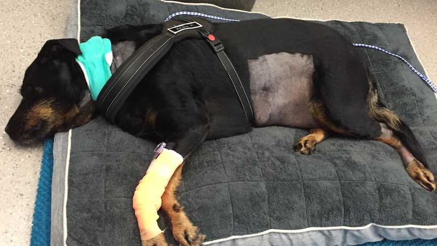 A sick black and tan dog lying on a bed.