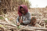 A sugar cane worker in Kampong Speu province, Cambodia.