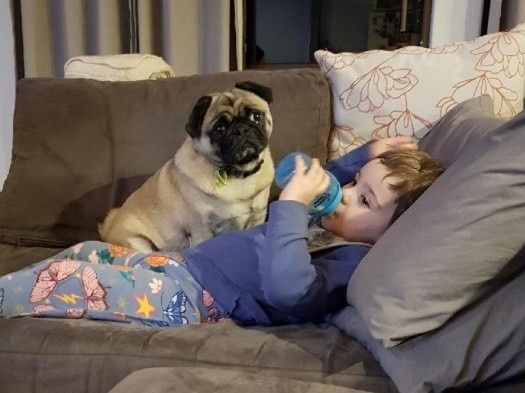 Pug sitting on top of young child lying on sofa.